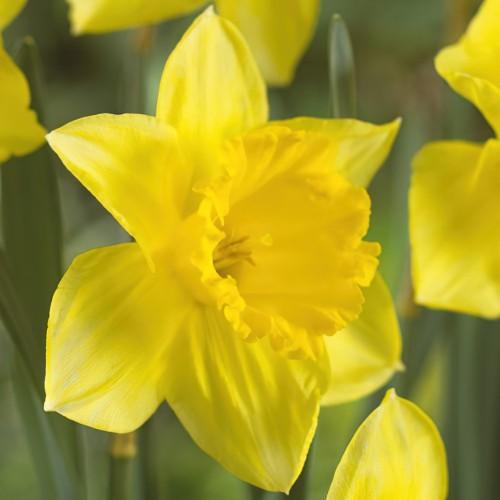 St Keverne Daffodil Bulbs