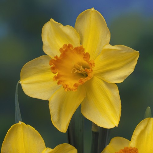 Lothario Daffodil Bulbs