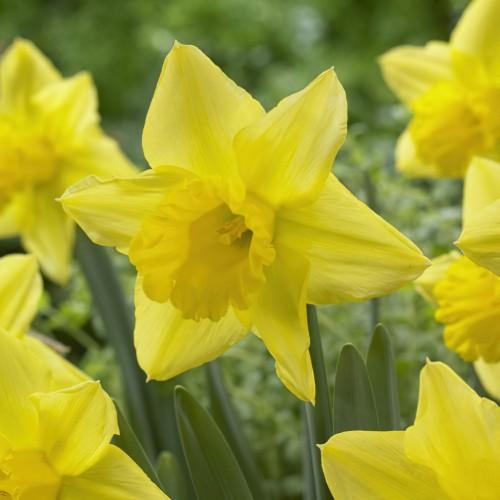 Mando Daffodil Bulbs