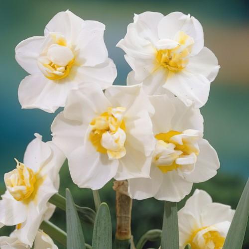 Cheerfulness Daffodil Bulbs