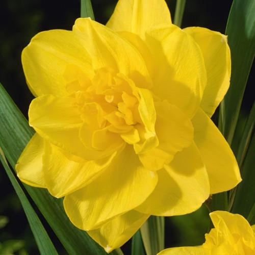 Golden Ducat - Narcissi Bulbs