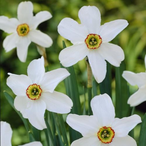 Pheasant's Eye Daffodil Bulbs