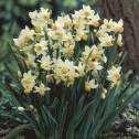 Narcissus Canaliculatus Bulbs