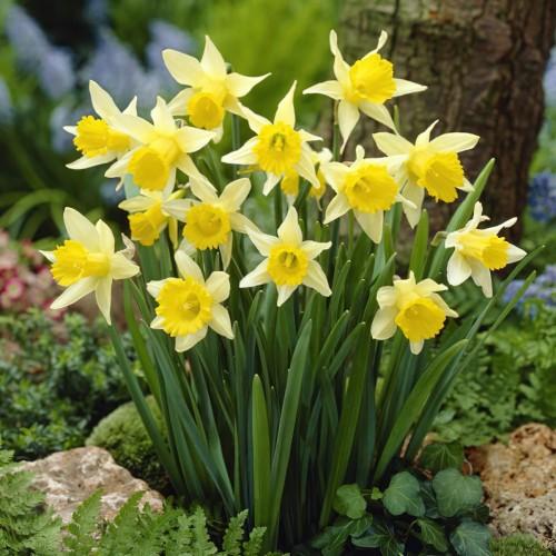 Narcissus Lobularis Bulbs