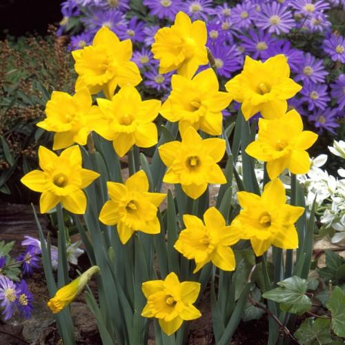 Narcissus Obvallaris Bulbs