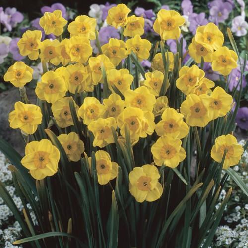 Narcissus Sun Disc Bulbs