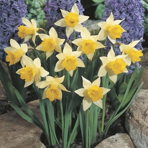 Narcissus Topolino Bulbs