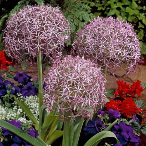 Christophii Allium Bulbs