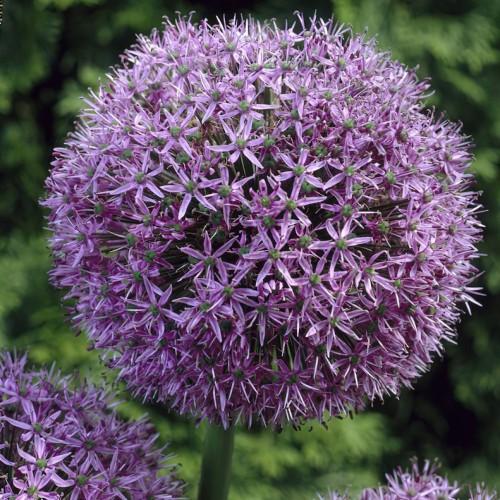Gladiator Allium Bulbs