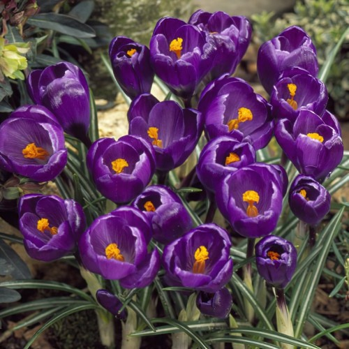 Flower Record Crocus Bulbs