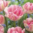 Foxtrot Tulip Bulbs -...