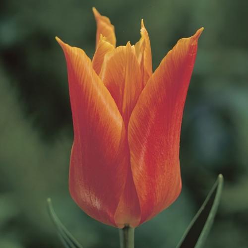 Ballerina - Lily Tulip Bulbs