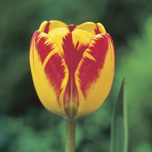 Banja Luka - Darwin Tulip...