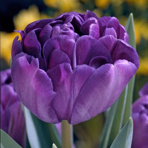 Blue Diamond - Double Tulip...
