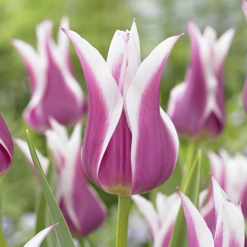 Ballade - Lily Tulip Bulbs