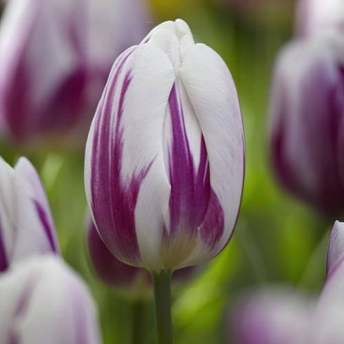 Flaming Flag Tulip Bulbs -...