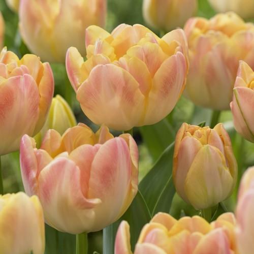 Creme Upstar Tulip Bulbs -...
