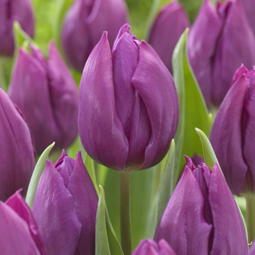 Purple Prince Tulip Bulbs -...