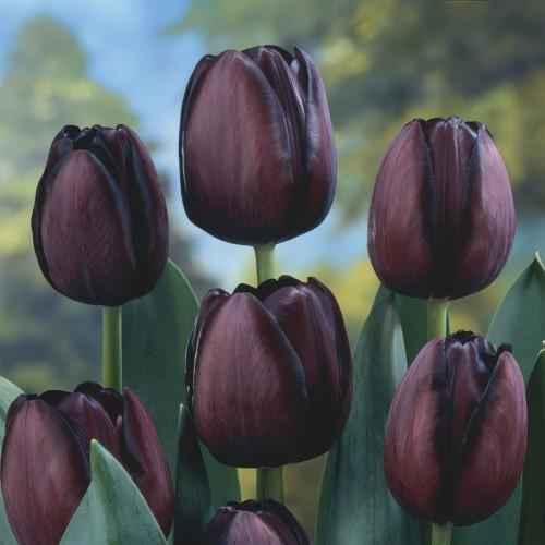 Queen of Night Tulip Bulbs...