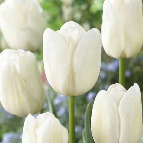 White Dream Tulip Bulbs -...