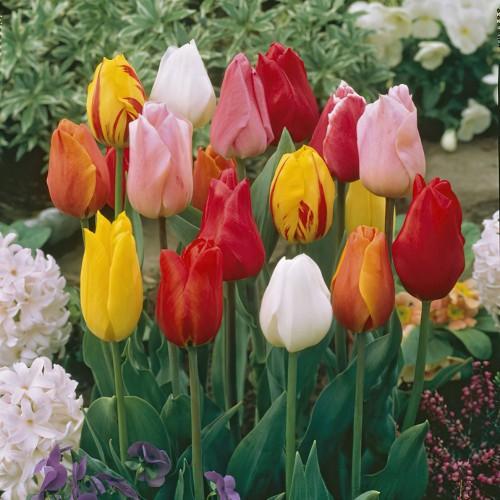 Single Early Tulip Bulbs -...