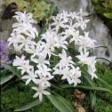 Chionodoxa Luciliae Alba Bulbs
