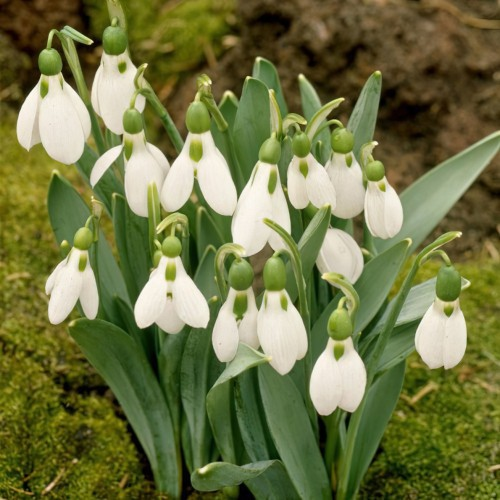 Elwesii - Galanthus Bulbs