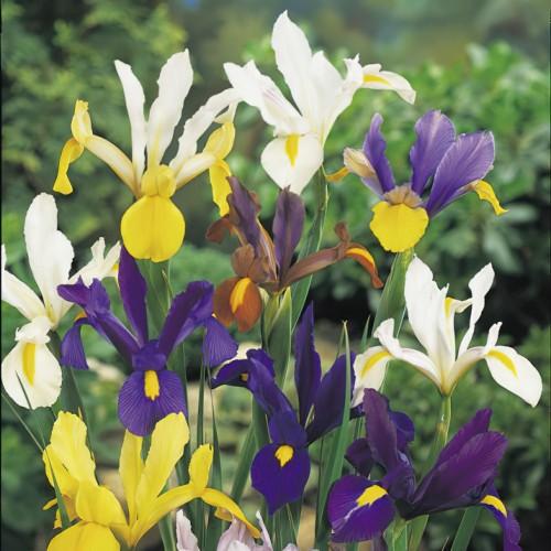 Iris Tall Dutch Mixed Bulbs
