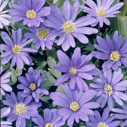 Anemone Blue Shades Bulbs