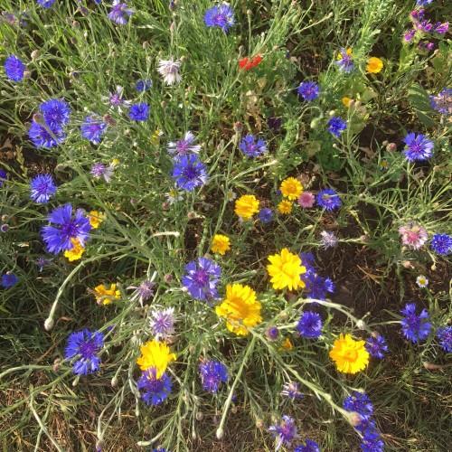 Cornfield Annuals Mixture