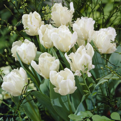 White Rebel Tulip Bulbs -...