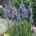Camassia Leichtlinii Blue...