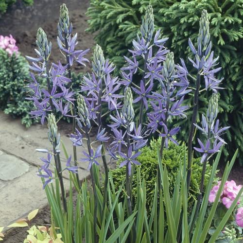 Camassia Leichtlinii Blue