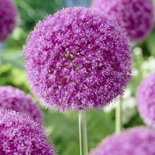 Gigantium Allium Bulbs