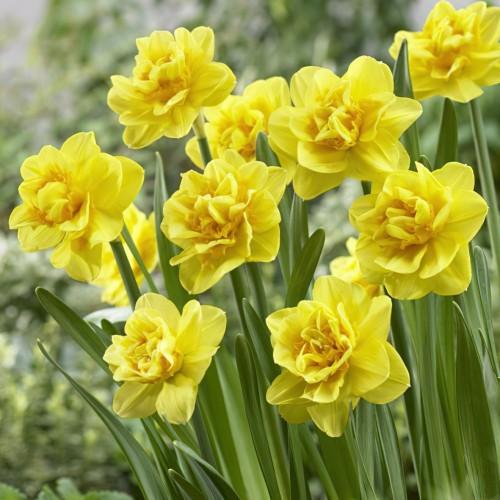 Jack The Lad Daffodil Bulbs