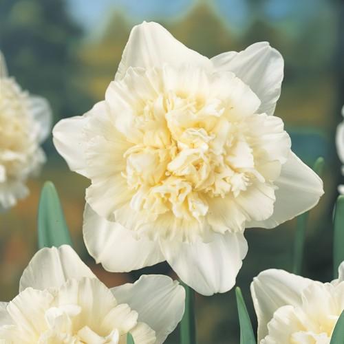 Ice King Daffodil Bulbs