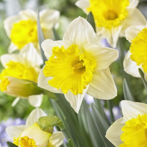 Anniversary Gift Daffodil...