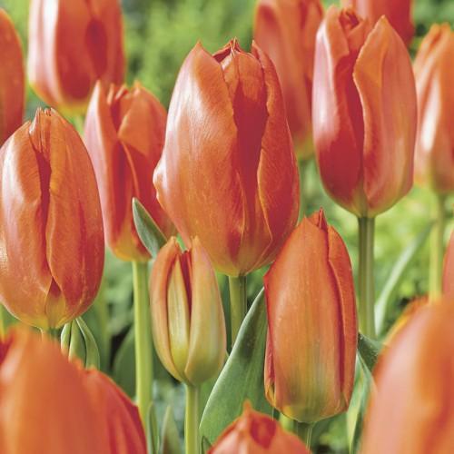 Orange Brilliant Tulip...