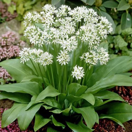 Wild Garlic (Allium Ursinum)