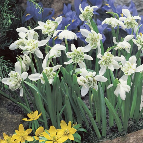Double Snowdrops (Galanthus...