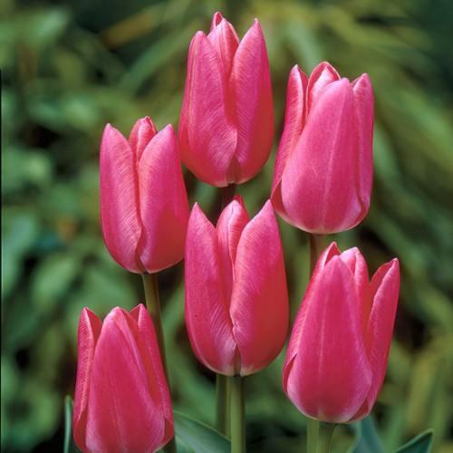Fusarino Tulip Bulbs -...