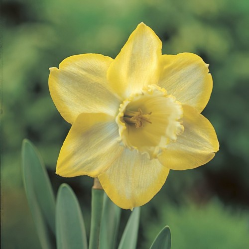 Binkie Daffodil Bulbs