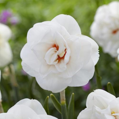 Acropolis Daffodil Bulbs
