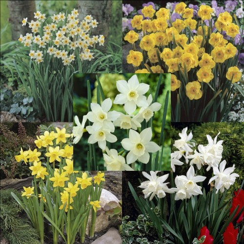 Dwarf Narcissi Collection