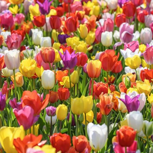 Sparkle Tulip Bulbs - Mixed