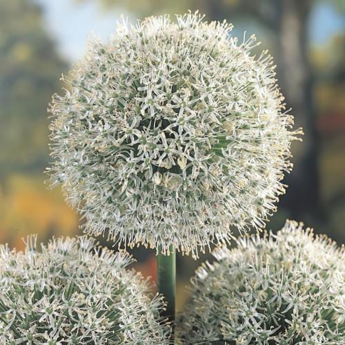 Mont Blanc Allium Bulbs