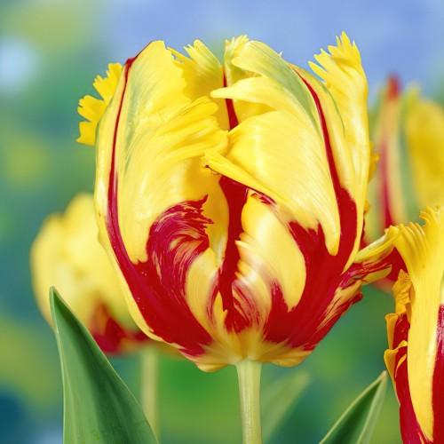 Texas Flame Tulip Bulbs -...