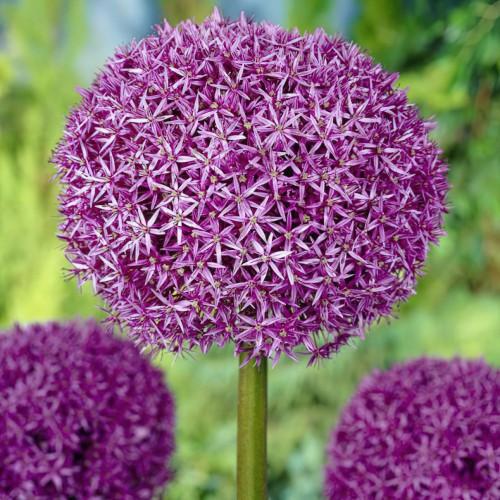 Globemaster Allium Bulbs