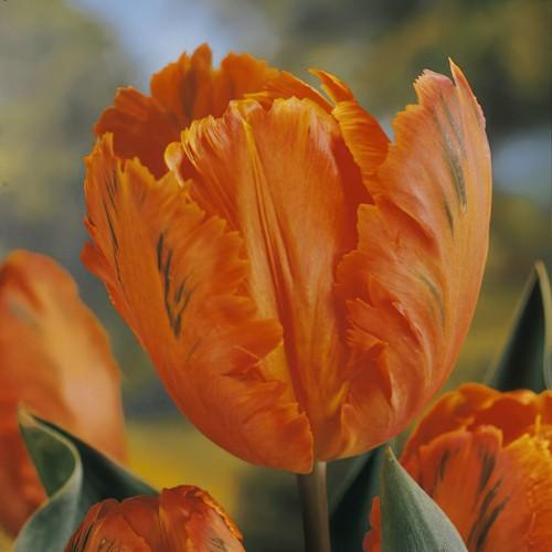 Orange Favourite Tulip...