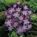 Whitewell Purple Crocus Bulbs